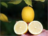 Mersin'de Üretilen Çekirdeksiz Limonun Taliplileri Artıyor!